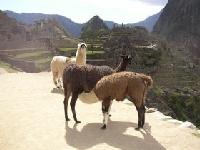 Lamas.jpg