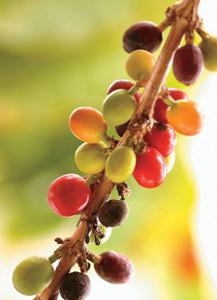 Zweig mit Kaffeekirschen
